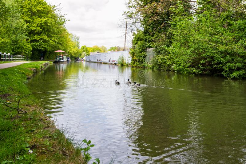 Beautiful mallard ducks in the river Avon, Bath, England. Beautiful view of the river Avon, Bath, England. Green landscape with a lot of trees, ducks and savage royalty free stock images