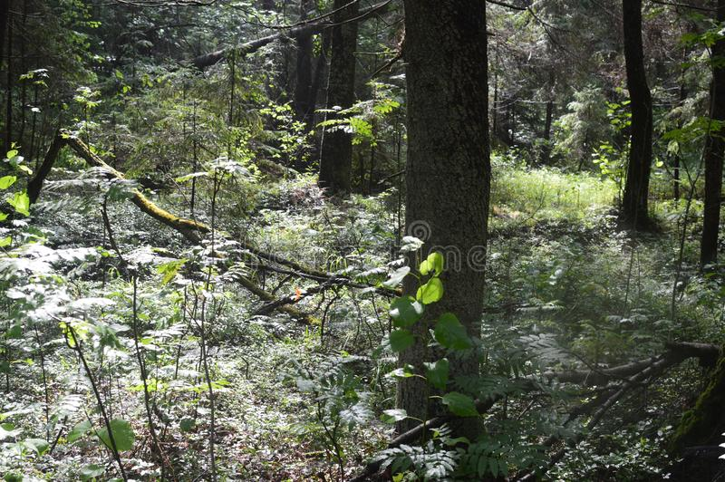 Beautiful view of the summer clean forest. Reserved wild places. stock photography