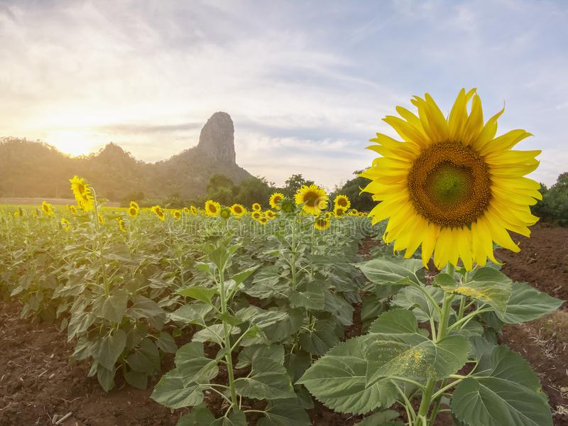 Beautiful view of sunflower field with moutain background on sunset. stock photos