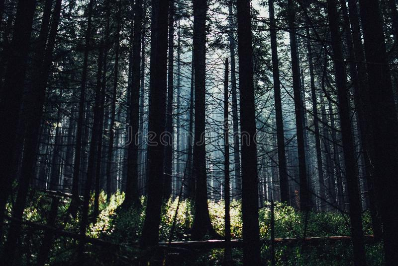 Beautiful view of the tall trees in the forest captured in Tatra Mountains in Poland royalty free stock photos