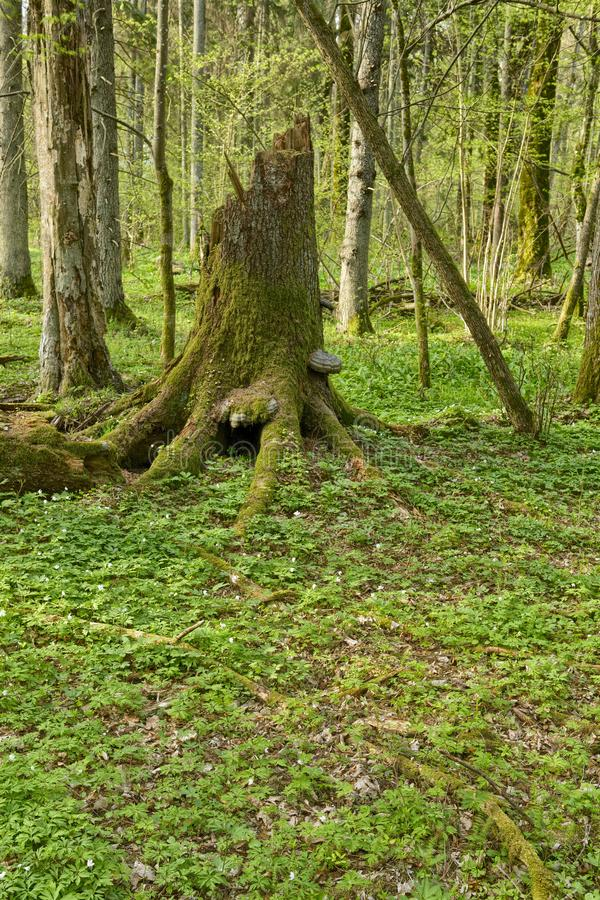 Beautiful view of tjhe original Bialowieza Forest, Poland royalty free stock images