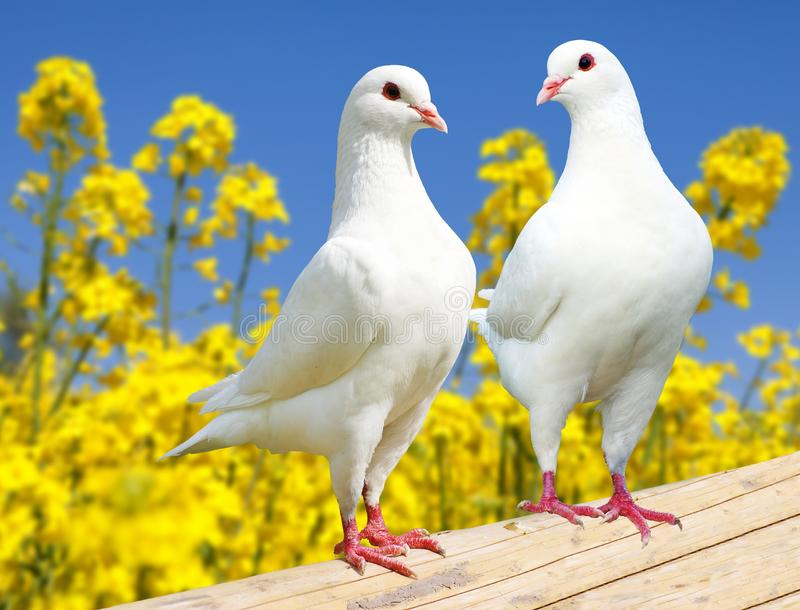 Beautiful view of two white pigeons on perch with yellow flowering rapeseed background and blue sky, imperial pigeon, ducula stock photos