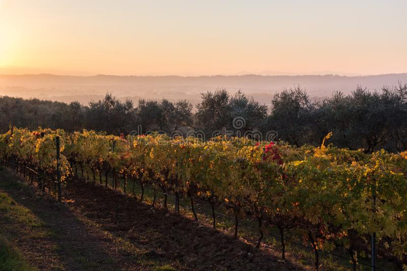Beautiful view of a vineyard at sunset in autumn, with red, green and yellow foliage royalty free stock photography