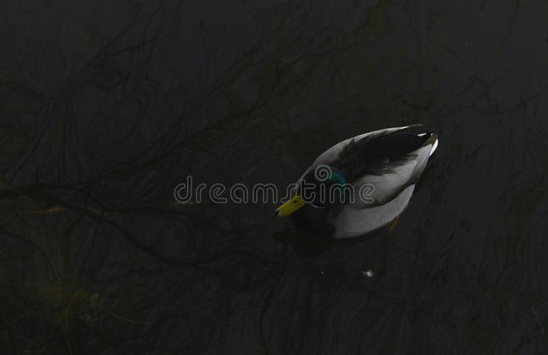 Beautiful view of a wild duck and trees reflected on Chios Lake, Cluj Napoca stock photography