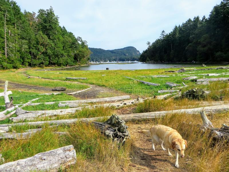A beautiful view of a yellow lab dog walking along remote hiking trail going over driftwood and through a marsh. Towards a shallow cove with boats anchored in stock photos