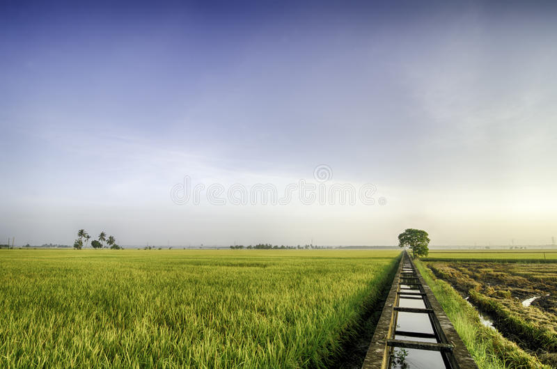 Beautiful view yellow paddy fields in the morning. concrete water canal for paddy rice field irrigation royalty free stock images