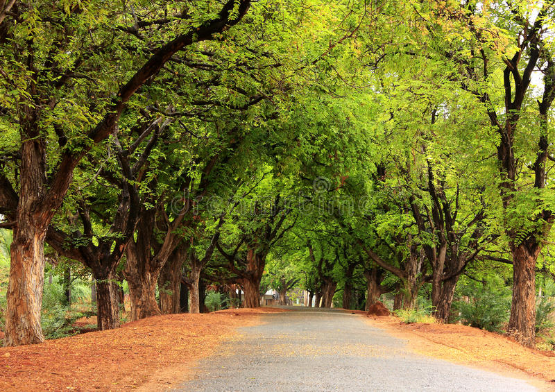 Beautiful village road in India. With tamarind tree both sides royalty free stock images