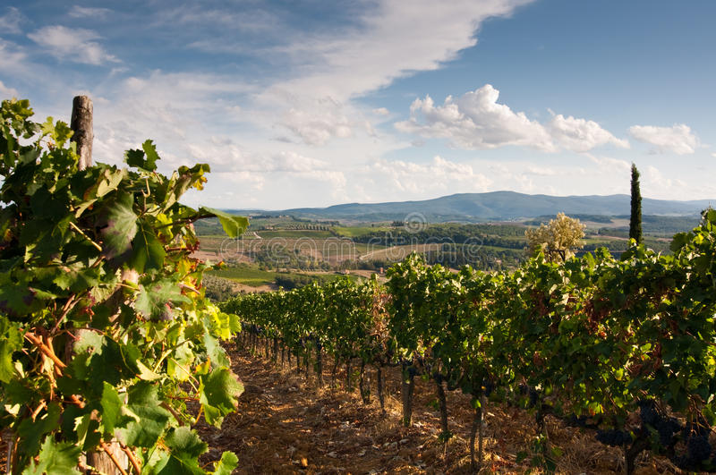 Beautiful vineyard in Italy stock images