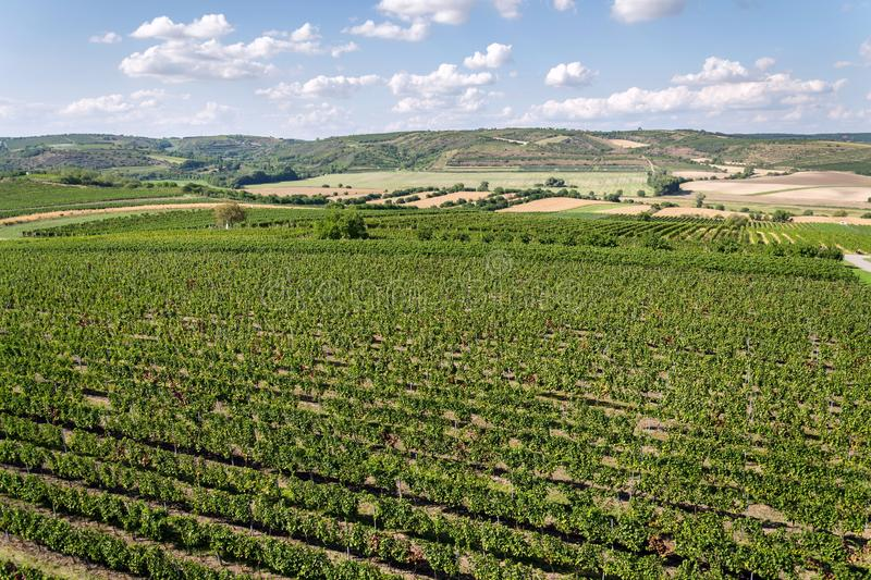 Beautiful vineyard landscape with grapes ready for harvest, sunny autumn day, Southern Moravia, Czech Republic stock photography