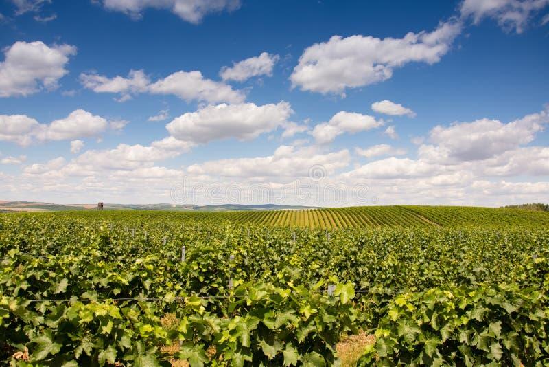 Beautiful vineyard in Morava. stock image