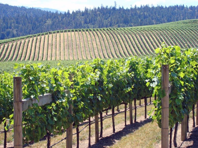 Download Beautiful Vineyard In Northern California Stock Photo - Image: 5694786