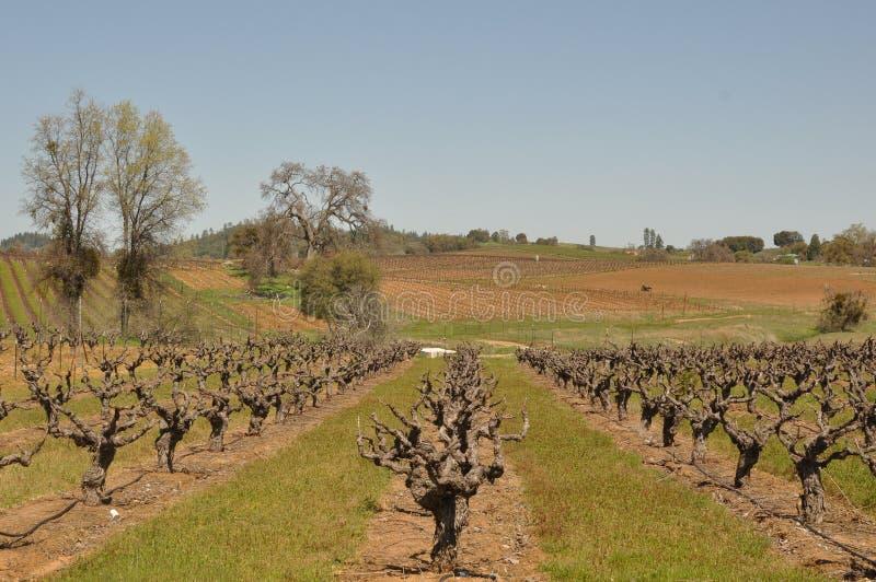 Beautiful Vineyard in Spring royalty free stock images