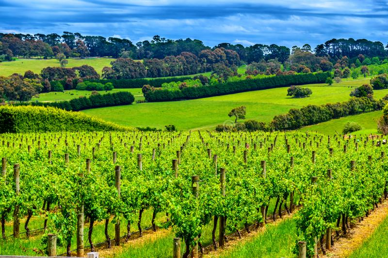 Beautiful vineyard in spring in Victoria, Australia. Beautiful vineyard, fields and hill in spring in Victoria, Australia stock photos