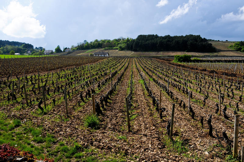 The beautiful vineyards in beaune cote de beaune where wine is. Produced , france royalty free stock photo