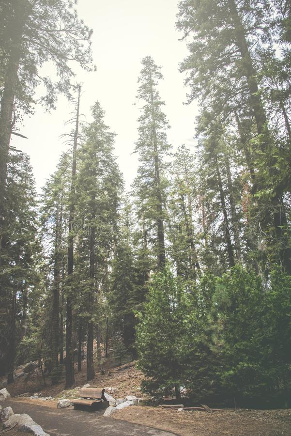 The beautiful vintage green forest like a fairytale at Sequoia National Park stock photography