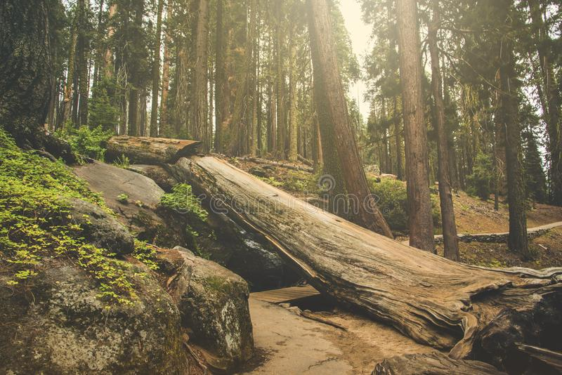 The beautiful vintage green forest like a fairytale at Sequoia National Park stock photos