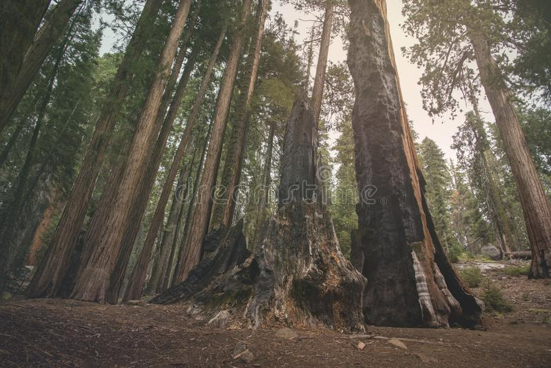 The beautiful vintage green forest like a fairytale at Sequoia National Park royalty free stock images