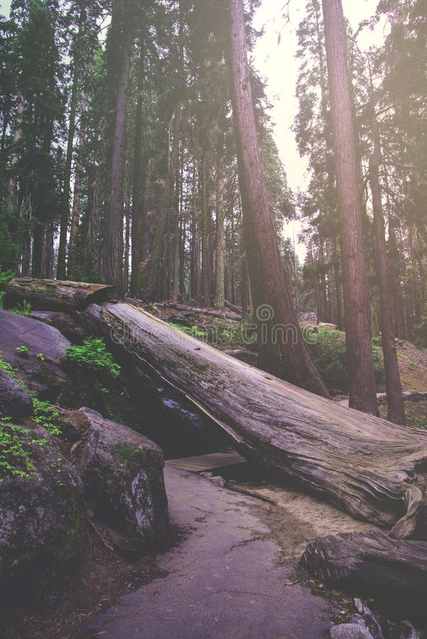 The beautiful vintage green forest like a fairytale at Sequoia National Park stock images