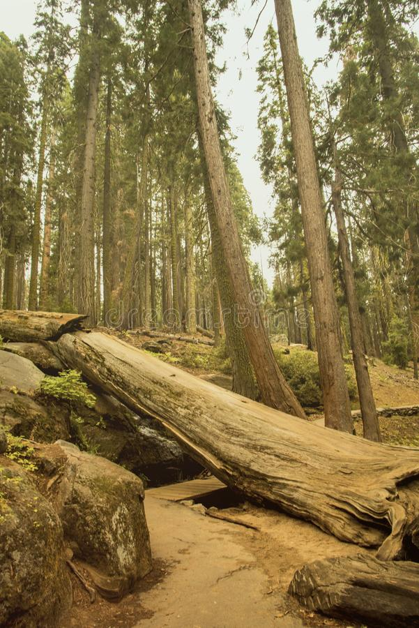 The beautiful vintage green forest like a fairytale at Sequoia National Park royalty free stock photography