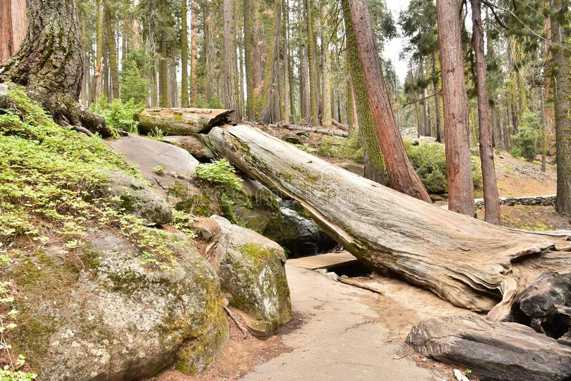 The beautiful vintage green forest like a fairytale at Sequoia National Park stock photo