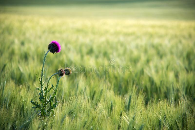 Beautiful violet blossom of Onopordum acanthium cotton thistle, scotch thistle, donkey thistle flower plant against green barley stock photo