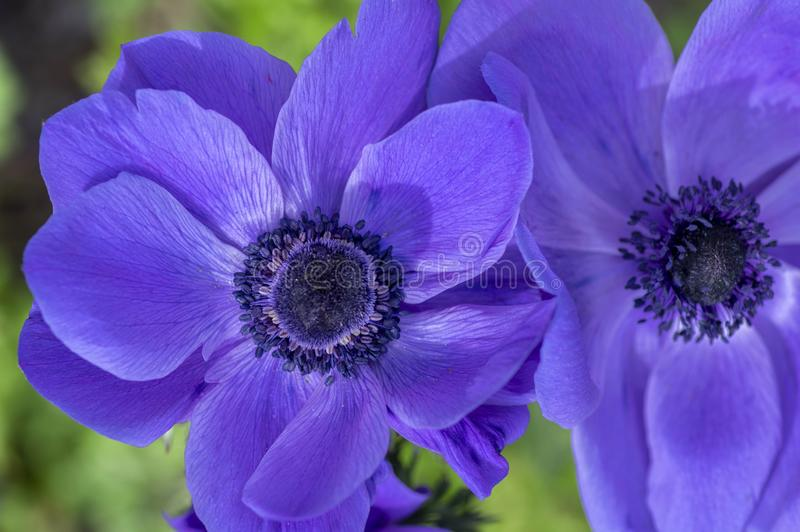 Beautiful violet blue black ornamental anemone coronaria de caen in bloom, bright colorful flowering springtime plant stock images