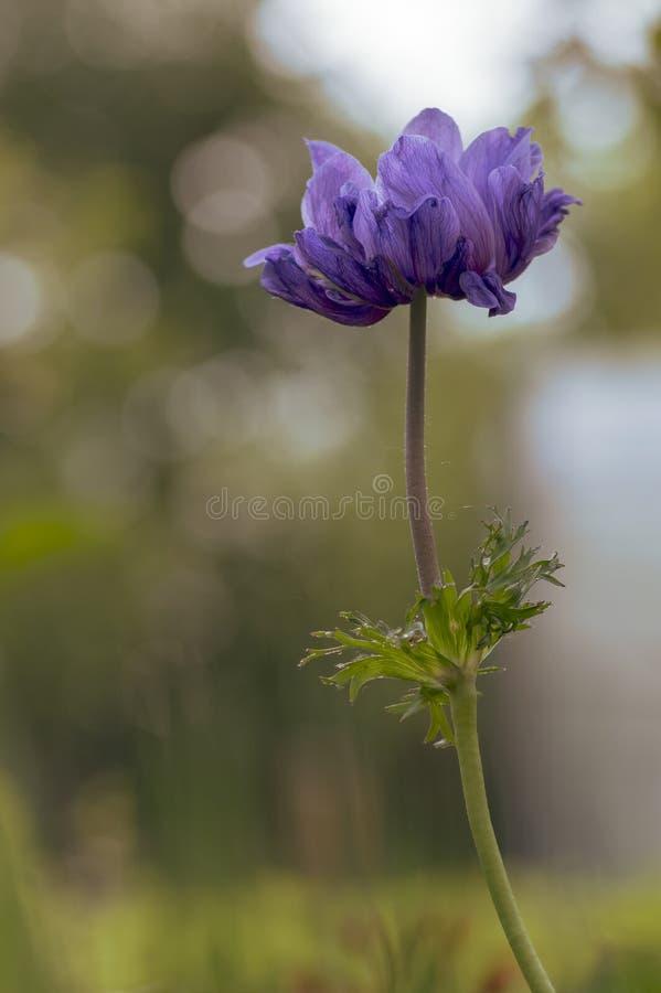 Beautiful violet blue black ornamental anemone coronaria de caen in bloom, bright colorful flowering springtime plant royalty free stock image