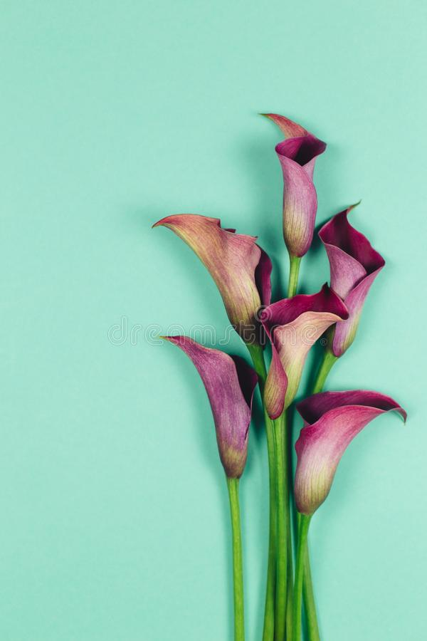Beautiful violet calla lilies on turquoise background. Flat lay. Place for text stock image