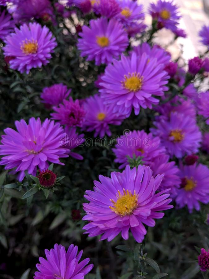 Beautiful violet chrysanthemums royalty free stock images
