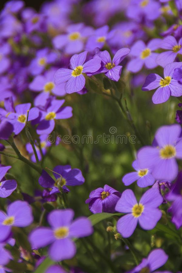 Flower`s bouchet at the sun. The beautiful violet close-up shot in the my garden on the spring royalty free stock photos