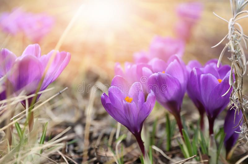 Beautiful violet crocuses flower growing on the dry grass, the first sign of spring. Seasonal easter sunny natural background stock images