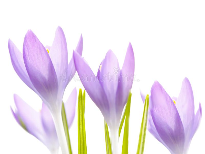 Beautiful violet crocuses flowers. Early spring royalty free stock photography