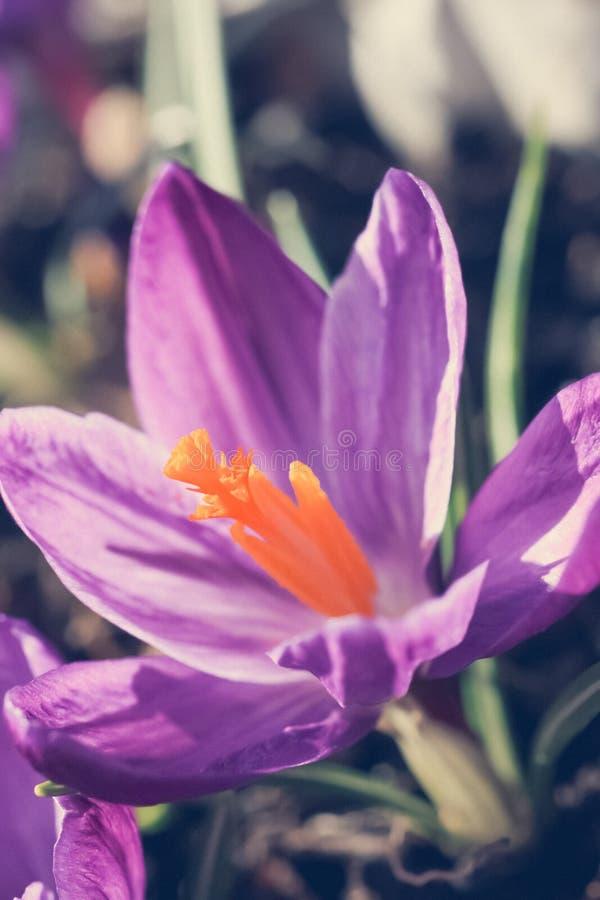 Beautiful violet crocuses in the garden, macro shot stock photo
