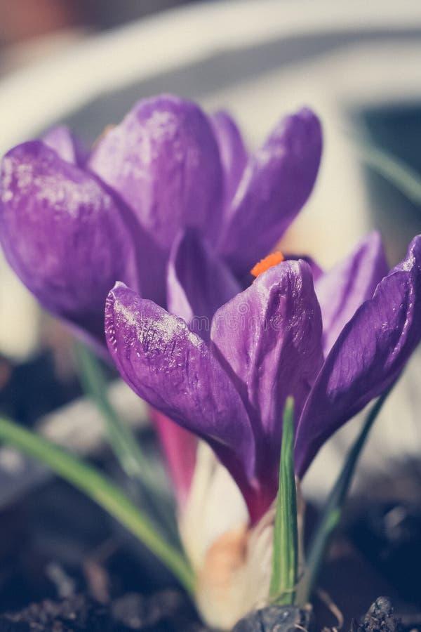 Beautiful violet crocuses in the garden, macro shot royalty free stock images