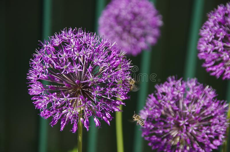 Beautiful violet flower with pollinating bees stock images
