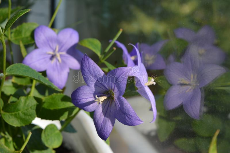 Beautiful violet flowers of balloon bellflower reflect in the window. Platycodon grandiflorus. Balcony greening.  stock image
