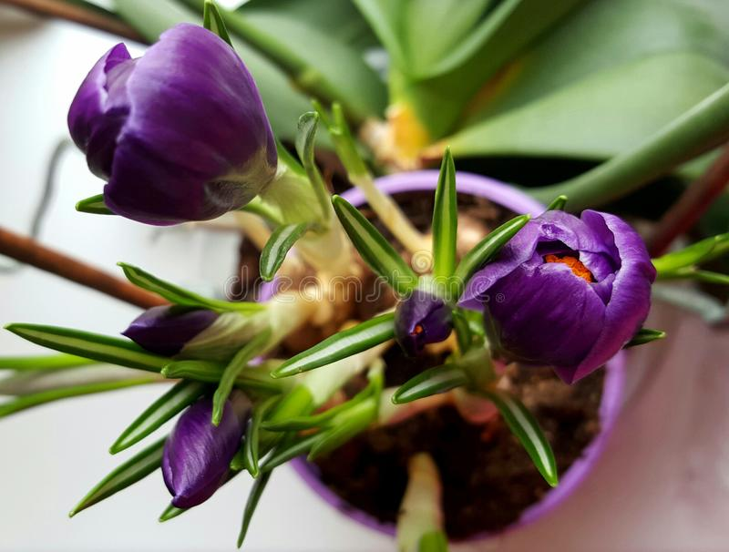 beautiful violet flowers royalty free stock photos