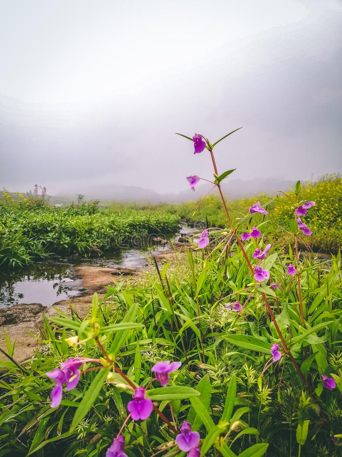Beautiful violet flowers in green terrain at lonavala hillstation. Water trails behind them. stock photos