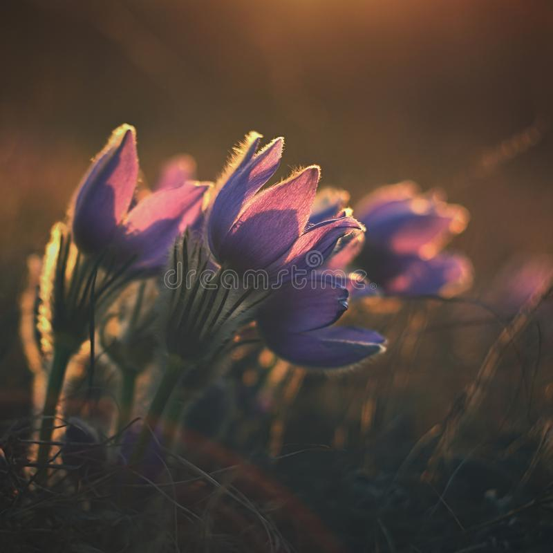 Beautiful violet flowers on a meadow at sunset. Beautiful natural colorful background. Pasque flower Pulsatilla grandis royalty free stock photos