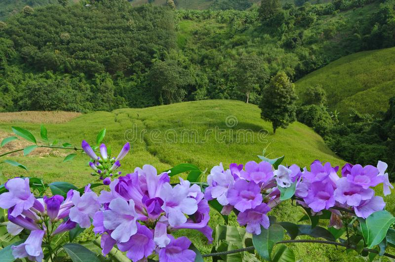 Beautiful violet flowers over green valley. Beautiful violet flowers of garlic vine over green grass and forest in the valley royalty free stock photography