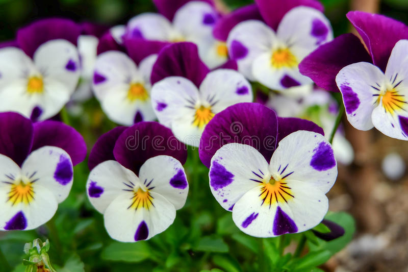 Beautiful violet flowers, viola tricolor pansy blossom tree branch in garden. natural spring season festival background stock image