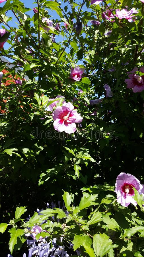 Violet Hibiscus sunny afternnoon stock photos