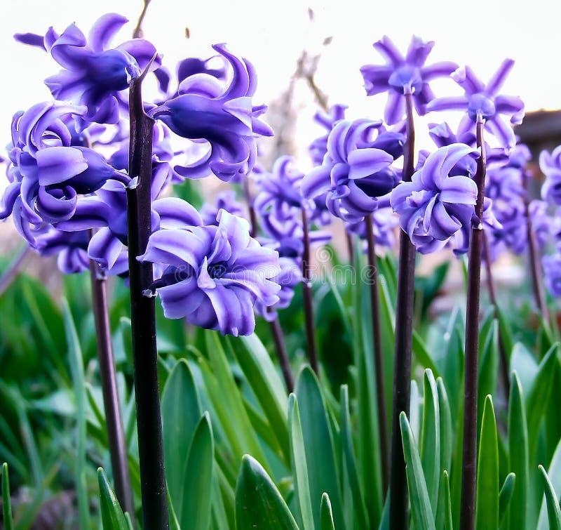 Free Beautiful Violet Hyacinth Close-up Stock Photos - 111737553