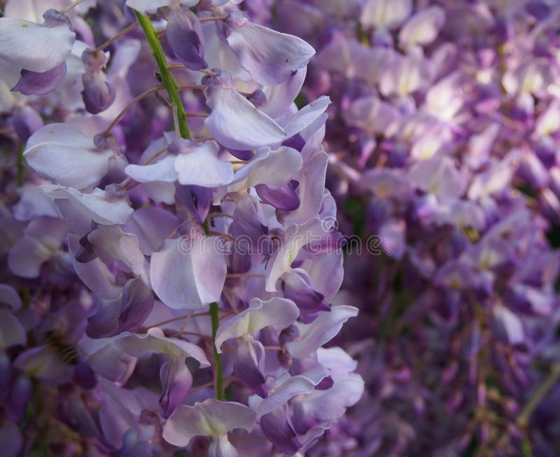 Beautiful, violet lilac stock photography