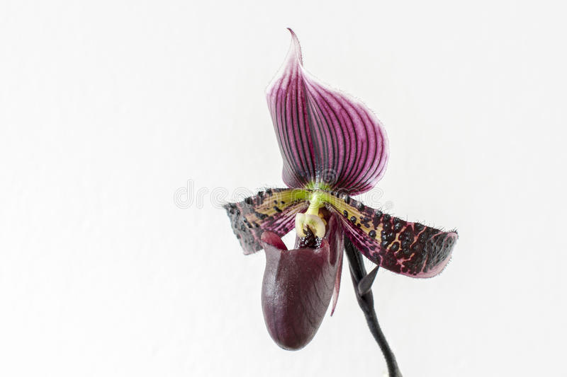Beautiful violet orchid stock image