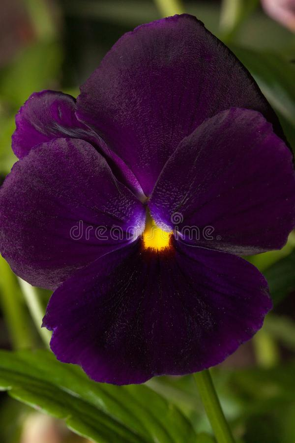Beautiful violet pansy are growing on a green meadow. Live nature royalty free stock image
