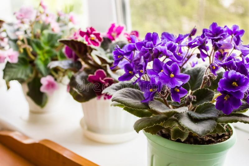 Beautiful violet in a pot on the windowsill royalty free stock image