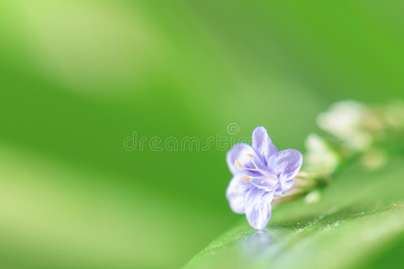 Beautiful violet spring flower on green leaf. Macro shot. Beautiful violet spring flower on green leaf on natural background. Macro shot of floret stock photography