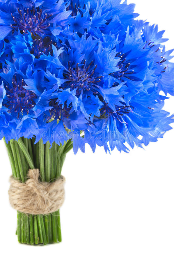 Beautiful vivid blue flowers of cornflower. Small bouquet of beautiful vivid blue flowers of cornflower on white background stock photos
