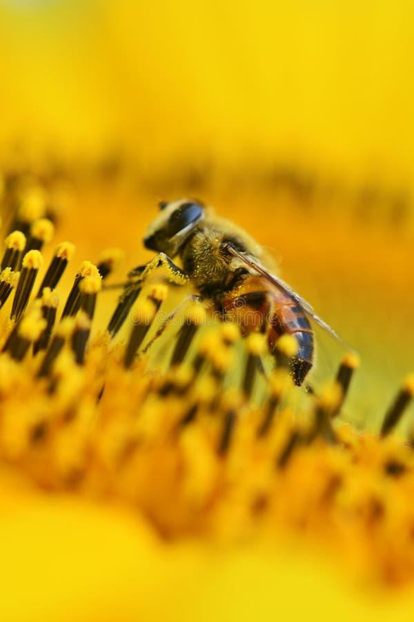 Beautiful vivid yellow sunflower with honey bee pollinate mirco photo stock image